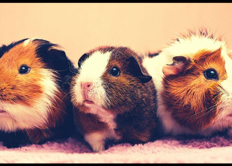 Guinea Pig Lifespan: Definition, Diet, & Facts- 2021 ...