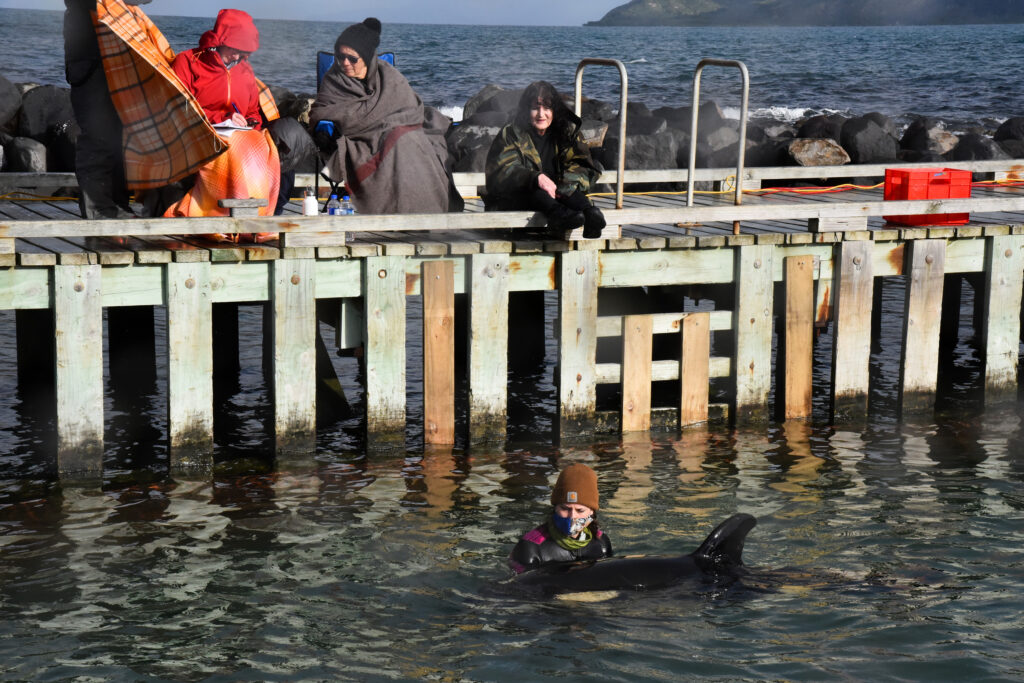Beached Baby Orca Sparks Whale Hunt In New Zealand - The ...